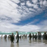 King-Penguin_MG_3728